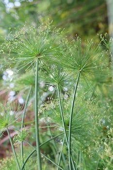 herbs for menopause, lifespa-image-Cyperus-rotundus-flowers-nut-grass
