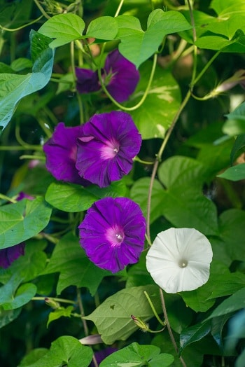herbs for menopause, lifespa-image-finger-leaf-morning-glory-flowers