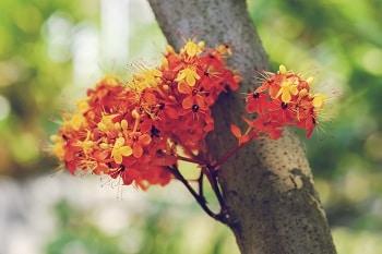 herbs for menopause, lifespa-image-sacara-asoca-ashoka-tree-bark-and-flowers
